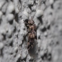 Psocodea 'Psocoptera' sp. (order) (Unidentified plant louse) at ANBG - 23 Sep 2019 by TimL