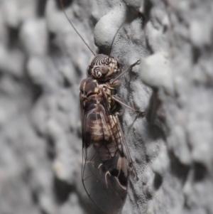 Psocodea 'Psocoptera' sp. (order) at ANBG - 23 Sep 2019