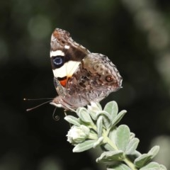 Vanessa itea (Yellow Admiral) at ANBG - 24 Sep 2019 by TimL