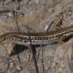 Ctenotus orientalis (Oriental Striped-skink) at Tuggeranong Hill - 16 Oct 2018 by Owen