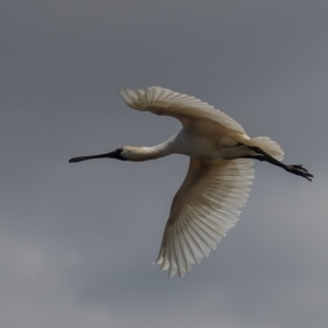 Platalea regia at Jerrabomberra Wetlands - 25 Sep 2019