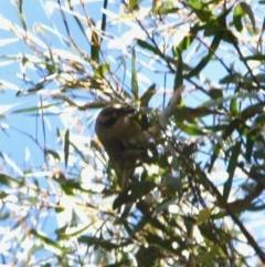 Melithreptus brevirostris (Brown-headed Honeyeater) at Mongarlowe River - 25 Sep 2019 by LisaH