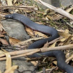Pseudechis porphyriacus (Red-bellied Black Snake) at Mogo State Forest - 20 Sep 2019 by Alison Milton