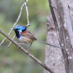 Malurus lamberti (Variegated Fairy-wren) at Mogo State Forest - 20 Sep 2019 by Alison Milton