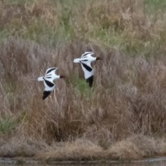 Recurvirostra novaehollandiae (Red-necked Avocet) at Jerrabomberra Wetlands - 25 Sep 2019 by rawshorty