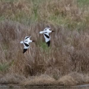 Recurvirostra novaehollandiae at Jerrabomberra Wetlands - 26 Sep 2019