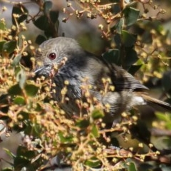 Acanthiza pusilla (Brown Thornbill) at Jerrabomberra Wetlands - 22 Aug 2019 by jbromilow50