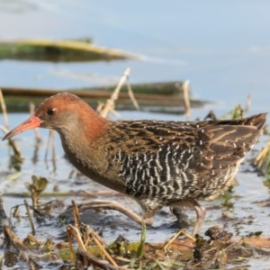 Lewinia pectoralis at Jerrabomberra Wetlands - 26 Sep 2019