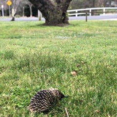 Tachyglossus aculeatus (Short-beaked Echidna) at Bowral - 25 Sep 2019 by BecM