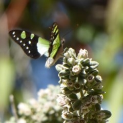 Graphium macleayanum (Macleay's Swallowtail) at ANBG - 22 Sep 2019 by Christine