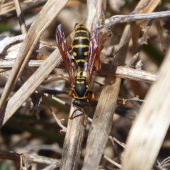 Polistes (Polistes) chinensis (Asian paper wasp) at Jerrabomberra Wetlands - 25 Sep 2019 by Christine