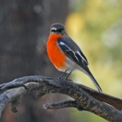 Petroica phoenicea (Flame Robin) at Tidbinbilla Nature Reserve - 25 Sep 2019 by RodDeb