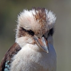 Dacelo novaeguineae (Laughing Kookaburra) at Tidbinbilla Nature Reserve - 25 Sep 2019 by RodDeb