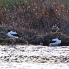 Recurvirostra novaehollandiae (Red-necked Avocet) at Jerrabomberra Wetlands - 26 Sep 2019 by RodDeb