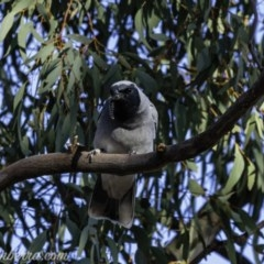 Coracina novaehollandiae (Black-faced Cuckooshrike) at Red Hill Nature Reserve - 13 Sep 2019 by BIrdsinCanberra