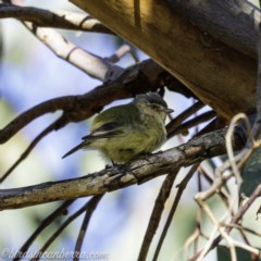 Smicrornis brevirostris (Weebill) at Red Hill Nature Reserve - 13 Sep 2019 by BIrdsinCanberra