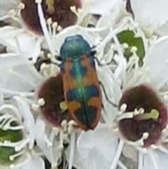 Castiarina hilaris (A jewel beetle) at Tuggeranong Hill - 25 Dec 2017 by Owen