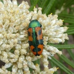 Castiarina scalaris (Scalaris jewel beetle) at Tuggeranong Hill - 19 Dec 2018 by Owen