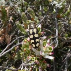 Castiarina decemmaculata (Ten-spot Jewel Beetle) at Tuggeranong Hill - 16 Oct 2018 by Owen