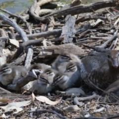 Chenonetta jubata (Australian Wood Duck) at Callum Brae - 27 Sep 2019 by Marthijn