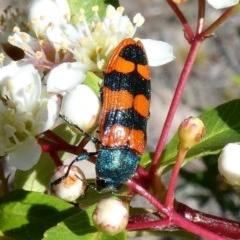 Castiarina crenata (Crenata jewel beetle) at Tuggeranong Hill - 10 Nov 2018 by Owen