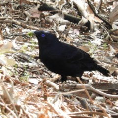 Ptilonorhynchus violaceus (Satin Bowerbird) at Burrinjuck, NSW - 22 Sep 2019 by MatthewFrawley