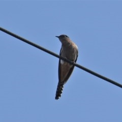 Cacomantis flabelliformis (Fan-tailed Cuckoo) at Red Hill Nature Reserve - 27 Sep 2019 by JackyF
