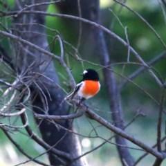 Petroica boodang (Scarlet Robin) at Wandiyali-Environa Conservation Area - 23 Apr 2018 by Wandiyali