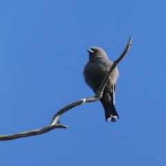 Artamus cyanopterus (Dusky Woodswallow) at Wandiyali-Environa Conservation Area - 25 Feb 2019 by Wandiyali
