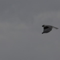 Elanus axillaris (Black-shouldered Kite) at Wandiyali-Environa Conservation Area - 1 Apr 2012 by Wandiyali