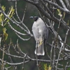 Philemon corniculatus (Noisy Friarbird) at Brogo, NSW - 25 Sep 2019 by MaxCampbell