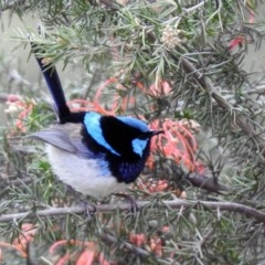Malurus cyaneus (Superb Fairywren) at Jerrabomberra Wetlands - 27 Sep 2019 by RodDeb