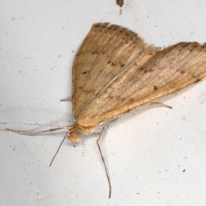Scopula rubraria at Ainslie, ACT - 26 Sep 2019