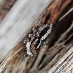 Euophryinae sp. (Mr Stripey) undescribed at Aranda Bushland - 24 Sep 2019