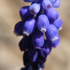 Muscari armeniacum (Grape Hyacinth) at Mount Majura - 28 Sep 2019 by ClubFED