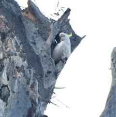 Cacatua galerita (Sulphur-crested Cockatoo) at Deakin, ACT - 28 Sep 2019 by KL