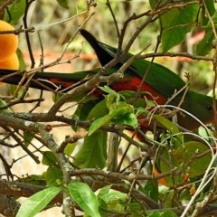 Alisterus scapularis (Australian King-parrot) at Brogo, NSW - 25 Sep 2019 by MaxCampbell