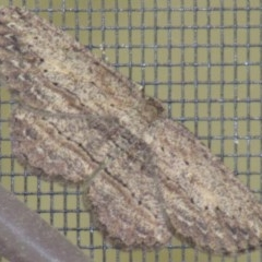Ectropis excursaria (Common Bark Moth) at Cook, ACT - 29 Sep 2019 by idlidlidlidl