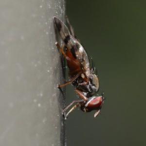 Rivellia sp. (genus) at ANBG - 27 Sep 2019