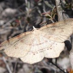 Rhinodia rostraria (Necklace Geometrid) at Piney Ridge - 28 Sep 2019 by Christine