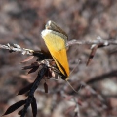 Philobota undescribed species near arabella (A concealer moth) at Piney Ridge - 28 Sep 2019 by Christine