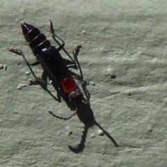 Carphurus sp. (genus) (Soft-winged flower beetle) at Fyshwick, ACT - 29 Sep 2019 by Christine