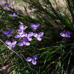 Patersonia sp. at - 29 Sep 2019 by Boobook38