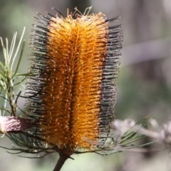 Banksia spinulosa (Hairpin Banksia) at Budawang, NSW - 29 Sep 2019 by LisaH