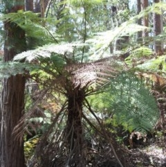 Cyathea australis (Rough tree fern) at Budawang, NSW - 29 Sep 2019 by LisaH