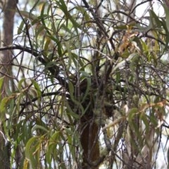 Amyema miquelii (Box Mistletoe) at Budawang, NSW - 29 Sep 2019 by LisaH