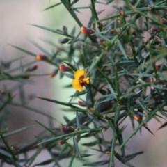 Daviesia ulicifolia subsp. ulicifolia (Gorse Bitter Pea) at Budawang, NSW - 29 Sep 2019 by LisaH
