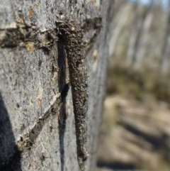 Lepidoscia (genus) (Unidentified cone case moth) at Black Mountain - 28 Sep 2019 by RWPurdie