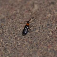 Heteromastix sp. (genus) (Soldier beetle) at Wamboin, NSW - 9 Nov 2018 by natureguy