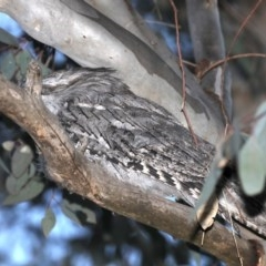 Podargus strigoides (Tawny Frogmouth) at Mount Ainslie - 28 Sep 2019 by jbromilow50